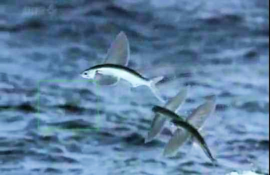 Flying Fish 0